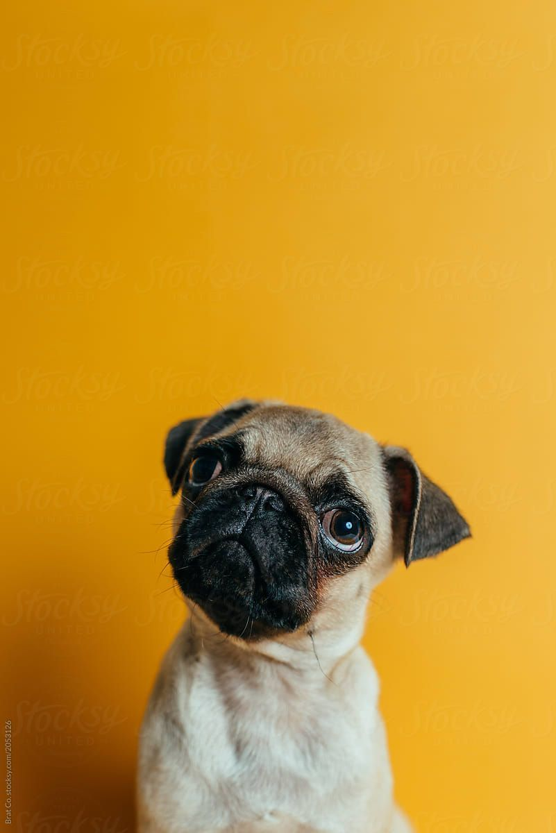 Pug On Yellow Background By Brat Co Stocksy United Pug Wallpaper Dog Wallpaper Dog Wallpaper Iphone