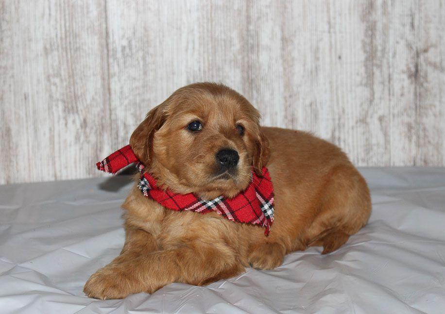 Annie A Female Apri Golden Irish Puppy For Sale In Shipshewana Indiana Goldenirish Puppiesforsale Puppy Gold Puppies For Sale Puppies Near Me Puppies