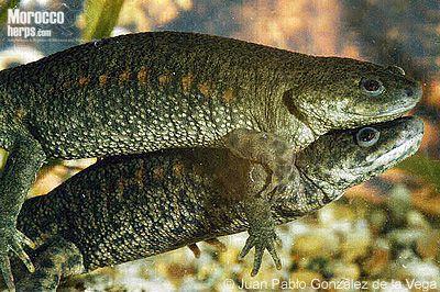 Pleurodeles Waltl イモリ 両生類 爬虫類