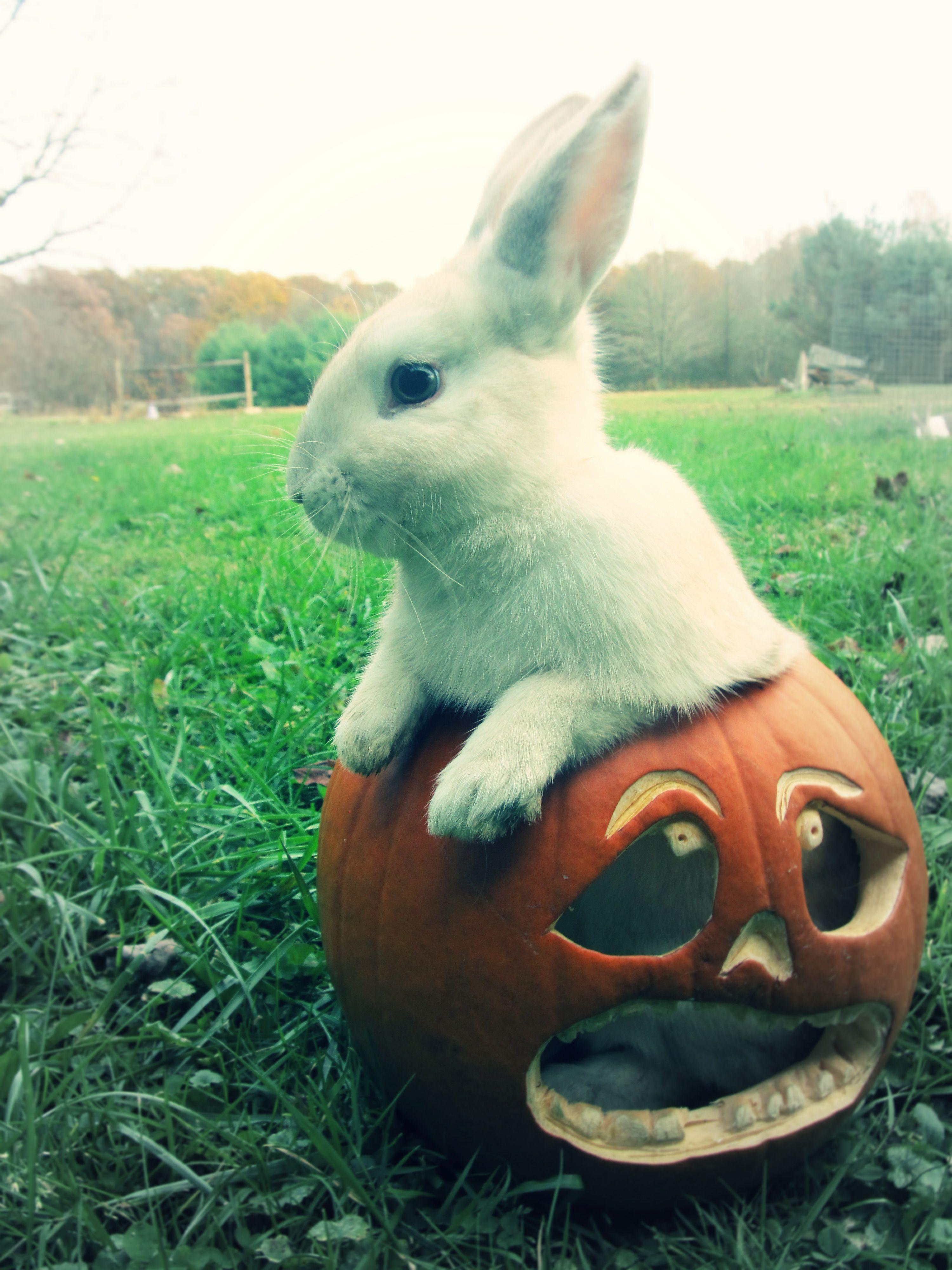 my halloween bunny by cm Rabbit halloween, Cute animals