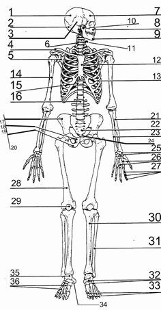 Appendicular Skeleton Worksheet Answers Awesome ...