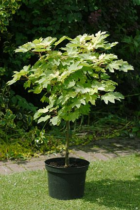 Growing And Keeping Trees In Pots Potted Trees Patio Trees Vegetable Garden