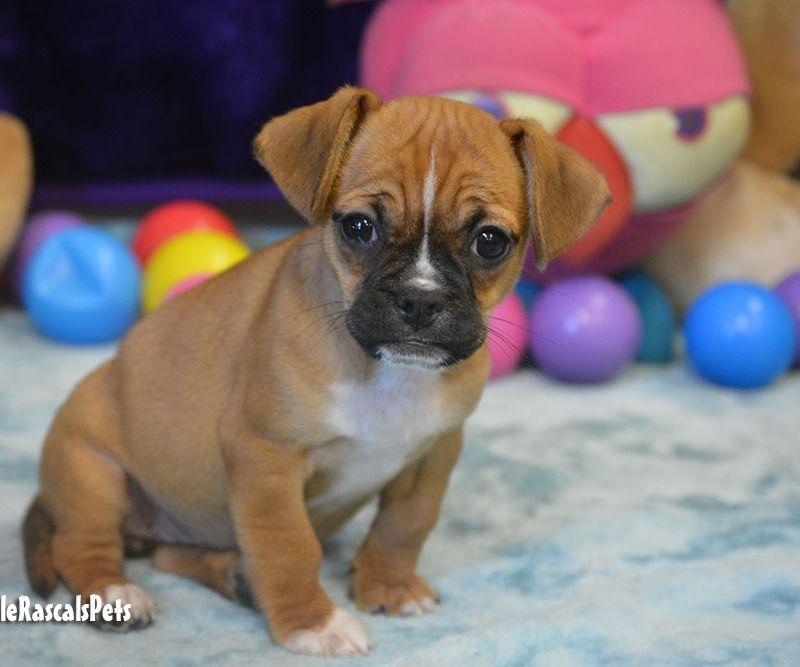 Jugalier Puppies For Sale Little Rascals Pets Ltd Pug Puppies