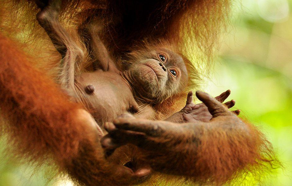 Orang-Utan Baby © Mira Margaretha / FZS