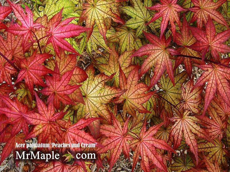 Peaches And Cream Maple Tree Japanese Maple Acer Palmatum Japanese Maple Tree