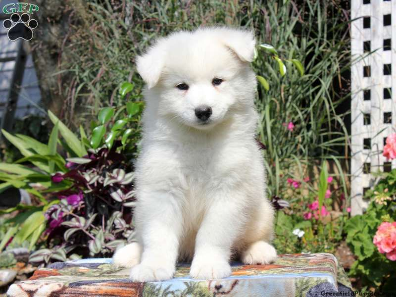 Colby samoyed puppy for sale in coatesville paim in love