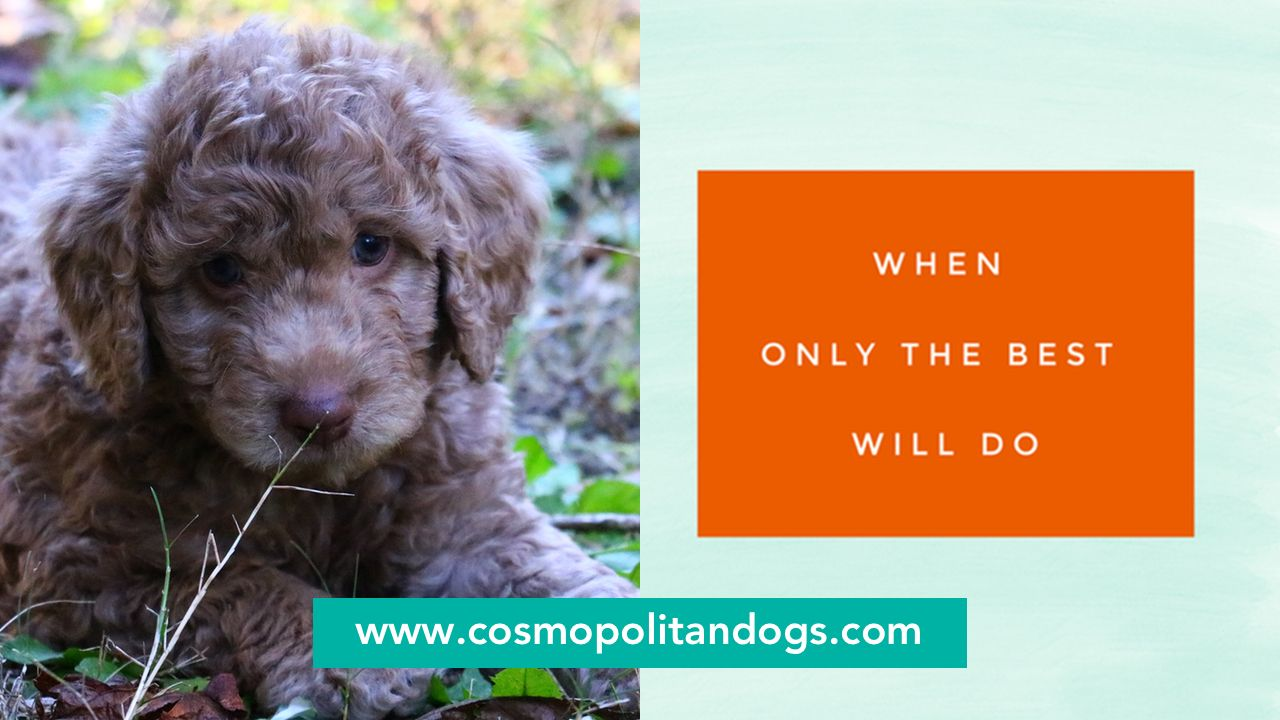 Pin by Cosmopolitan Companion Dogs on Cosmopolitan