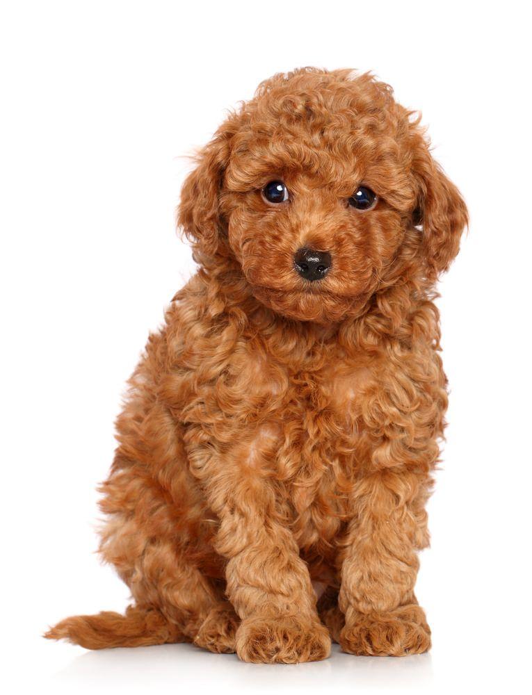 トイプードルの名前 人気が高い8選 オスとメスで違う Pepy トイプードル 子犬 かわいい ゴールデンドゥードル
