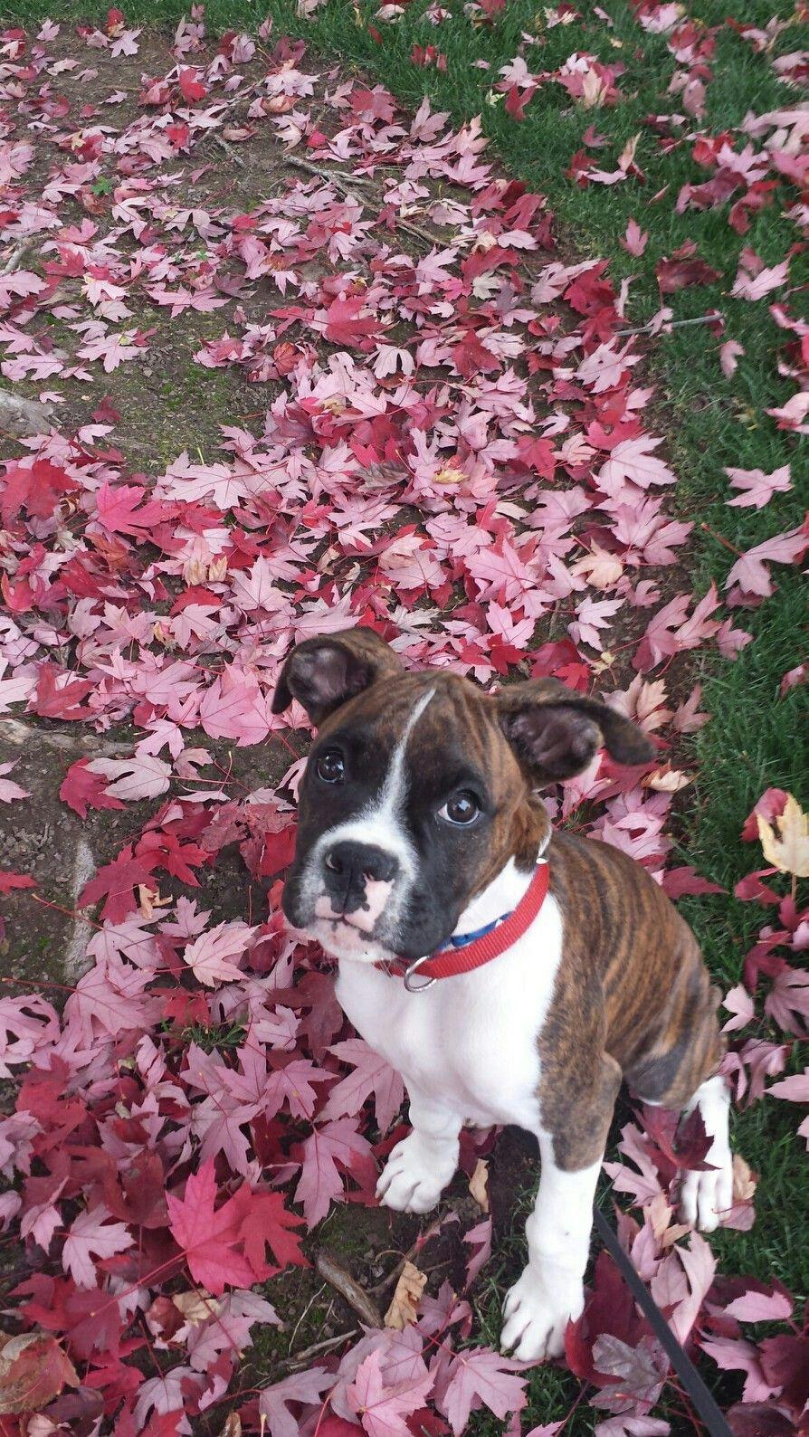 Boxer puppy daisy boxer love boxer puppies boxer dogs