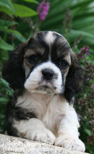 This Is Just Perfect Spaniel Puppies For Sale Cocker Spaniel Puppies Spaniel Puppies