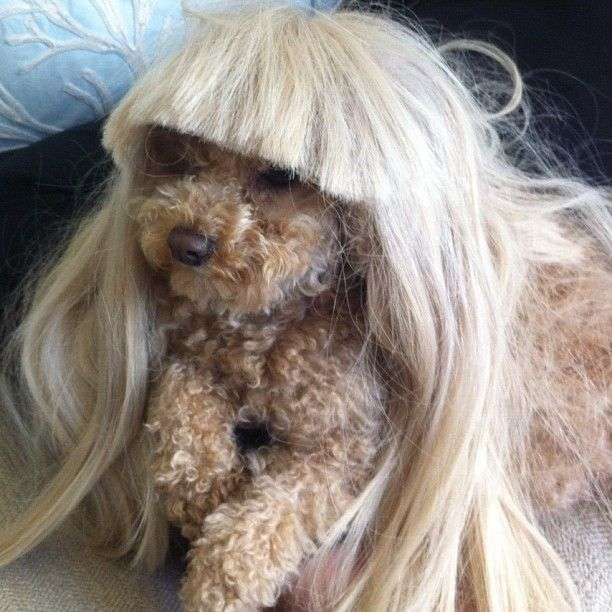 Fozzi (Lady Gaga's dog) in one of her iconic wigs. Too cute! <3