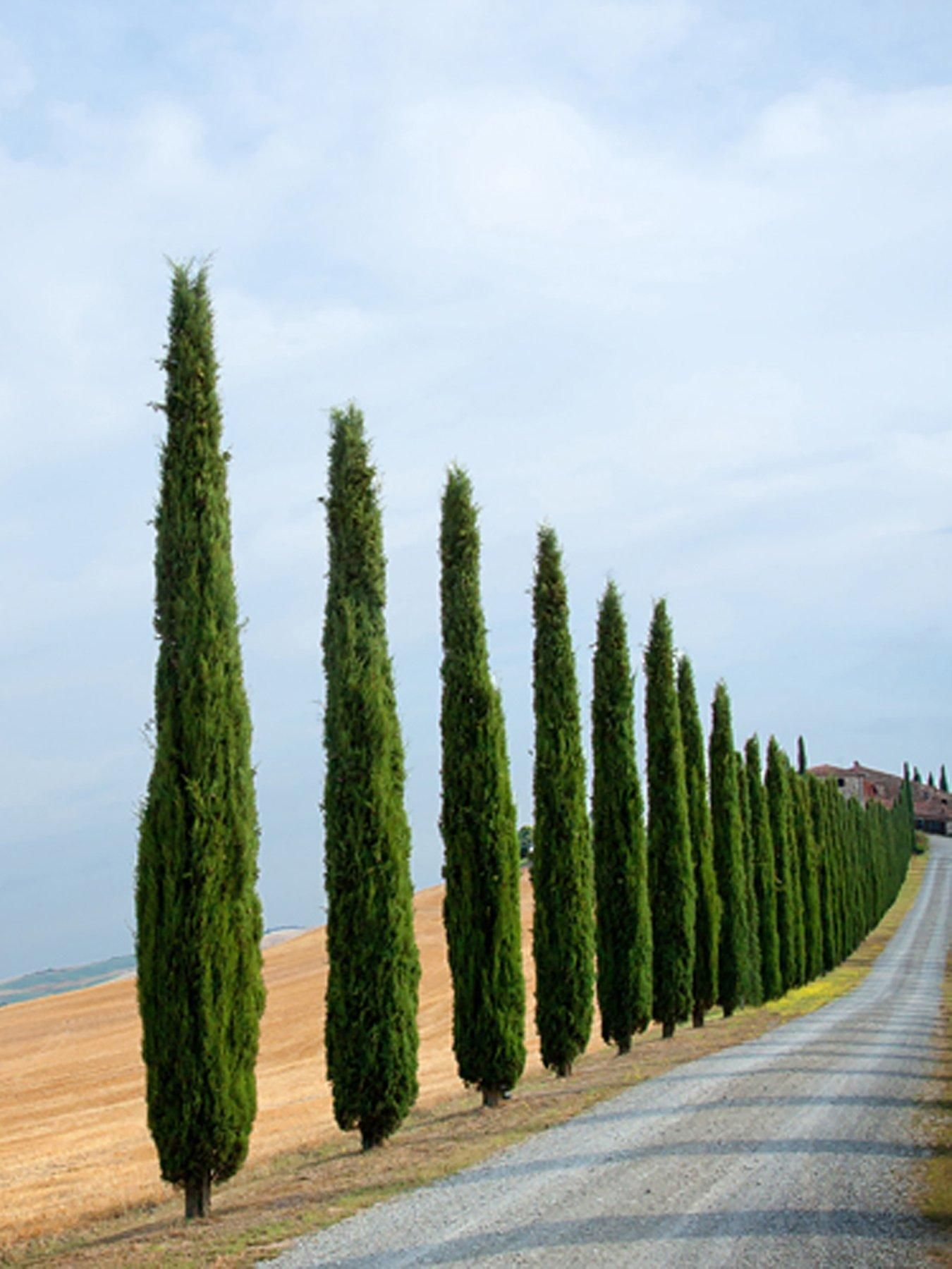 Pair Of Italian Cypress Trees 80 100cm Tall Italian Cypress Trees Cypress Trees Italian Cypress