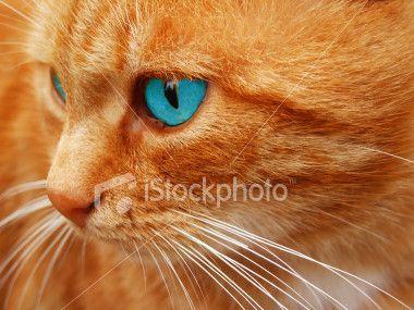 Orange Blue Eyed Cat Cat With Blue Eyes Orange Cat American Shorthair Cat