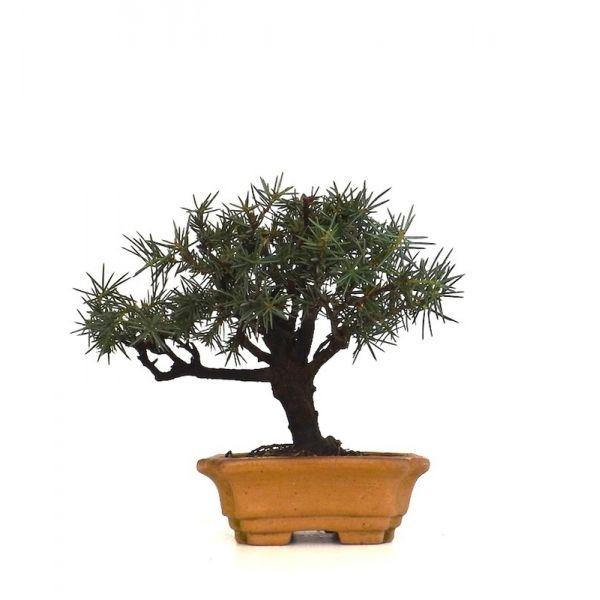 acheter un bonsai juniperus rigida shohin 17 cm jr140701 magasin bonsai en ligne sankaly. Black Bedroom Furniture Sets. Home Design Ideas