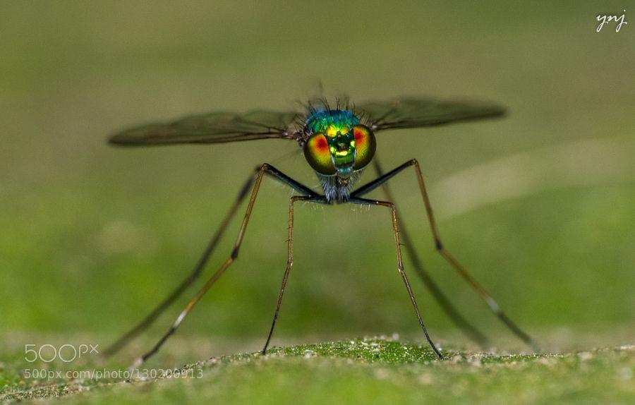 Long Legged Fly by YogendraJoshi