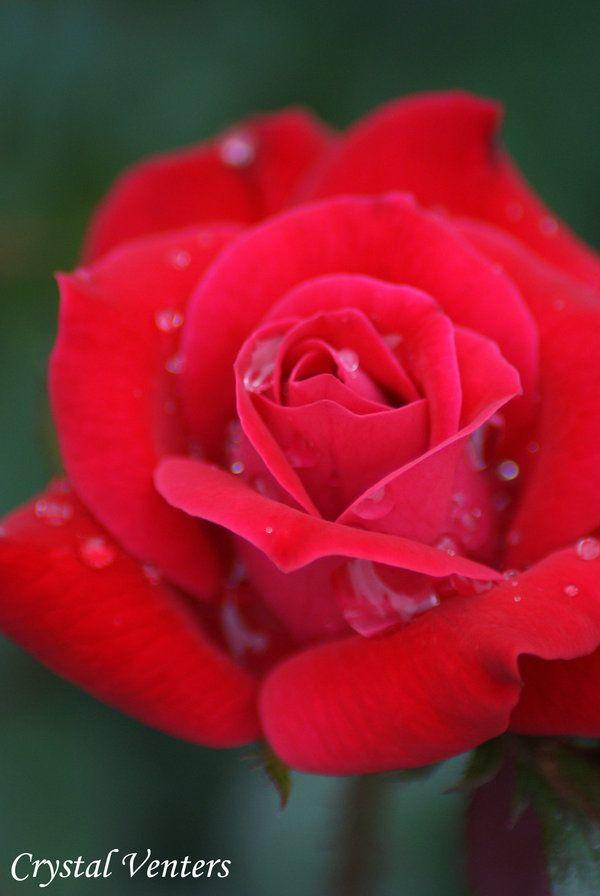 Rainy Red Rose by poetcrystaldawn.deviantart.com on @deviantART