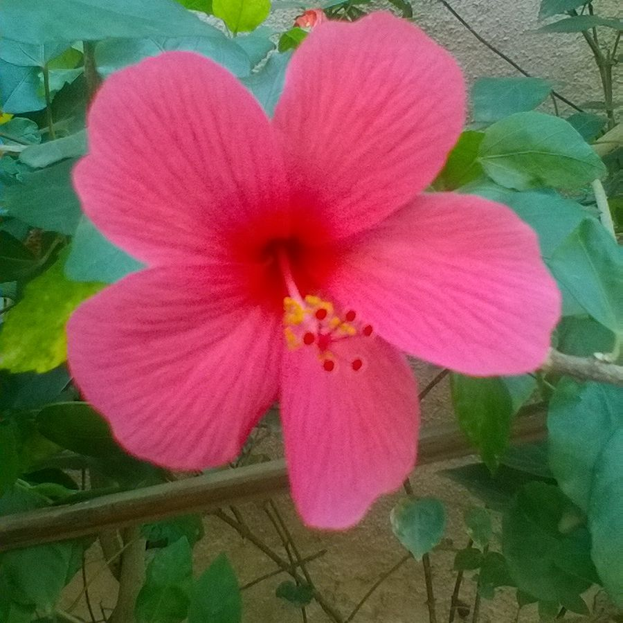 The Red Hibiscus Is The Flower Of The Hindu Goddess Kali And Appears Frequently In Depictions Of Her In The Art Of Bengal With Images Beautiful Flowers Flowers Hibiscus