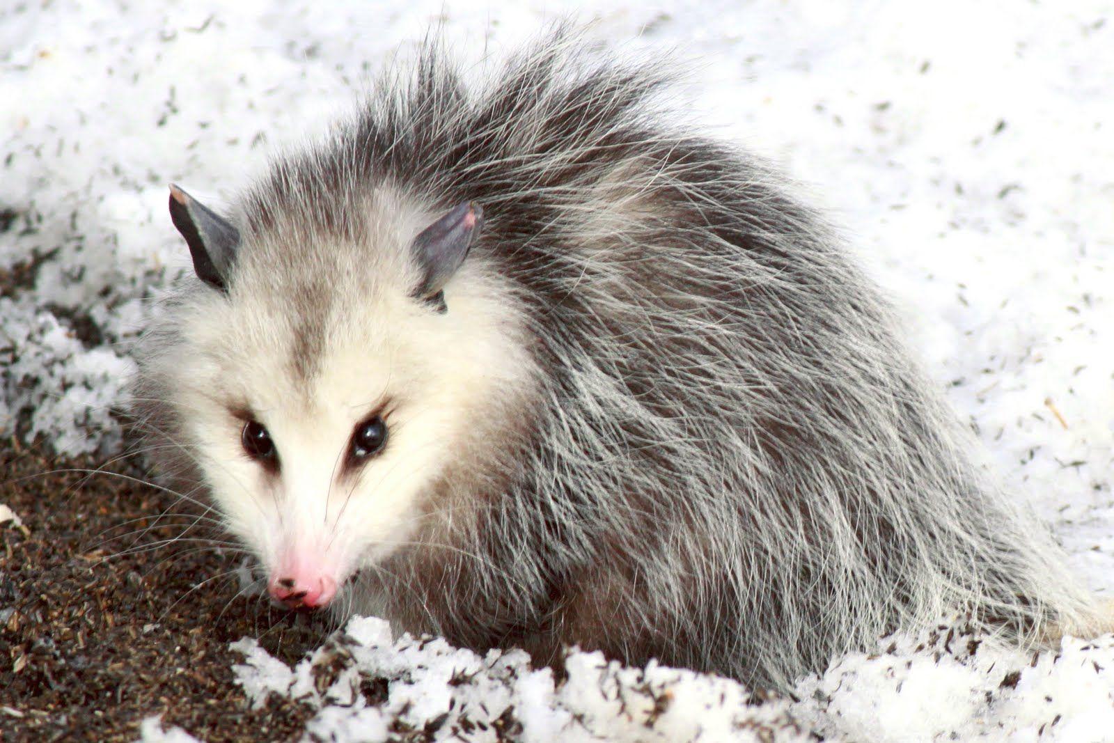 http www bing com images search q u003dopossum opossum pinterest