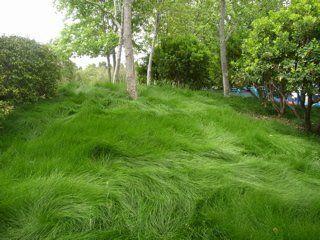 Boreal Creeping Red Fescue Fescue Lawn Ground Cover Plants Lawn Alternatives