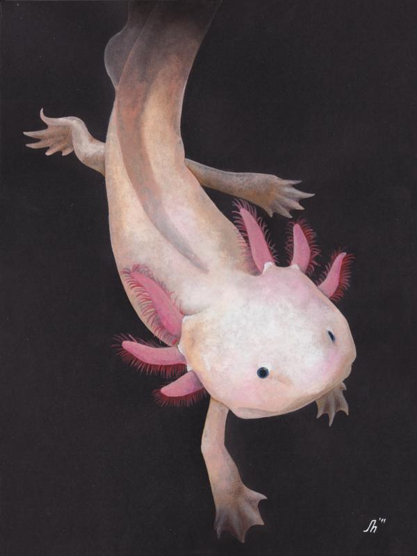 Axolotl | Ajolote | Pinterest | Ajolote, Animales y Alas de hadas