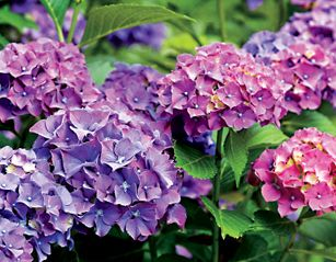 Get your Hydrangeas to Bloom