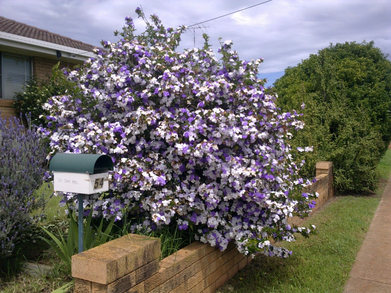 Shade Perennial Yesterday Today And Tomorrow Plant Brunfelsia Pauciflora Floribunda