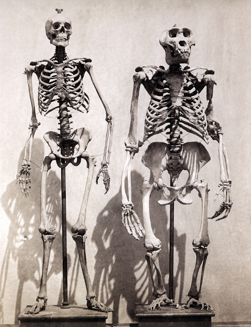 Skeletons of Man and of the Male Gorilla, c.1858 / Roger Fenton