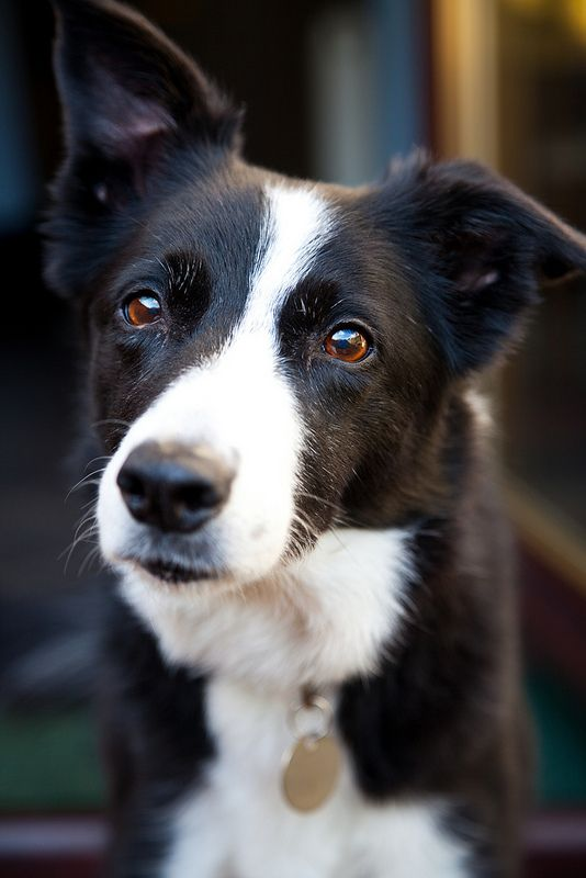 Border Collie Starting To Show A Little Grey Around The Eyes But I Bet He Isn T Slowing Down Yet Border Collie Dog Dogs Dog Life