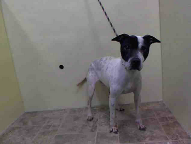 SAFE --- URGENT - Manhattan Center    DIAMOND - A0994252    FEMALE, WHITE / BLACK, PIT BULL MIX, 4 yrs  OWNER SUR - EVALUATE, NO HOLD Reason COST   Intake condition PREGNANT Intake Date 03/18/2014, From NY 10023, DueOut Date 03/18/2014 https://www.facebook.com/Urgentdeathrowdogs/photos_stream