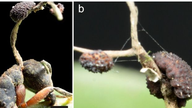 Zombie ants controlled by fungus: study -  On the left, the stalk of a newly discovered fungus grows out of the neck of a dead ant in the Brazilian rainforest. On the right, a closeup of the fungus.