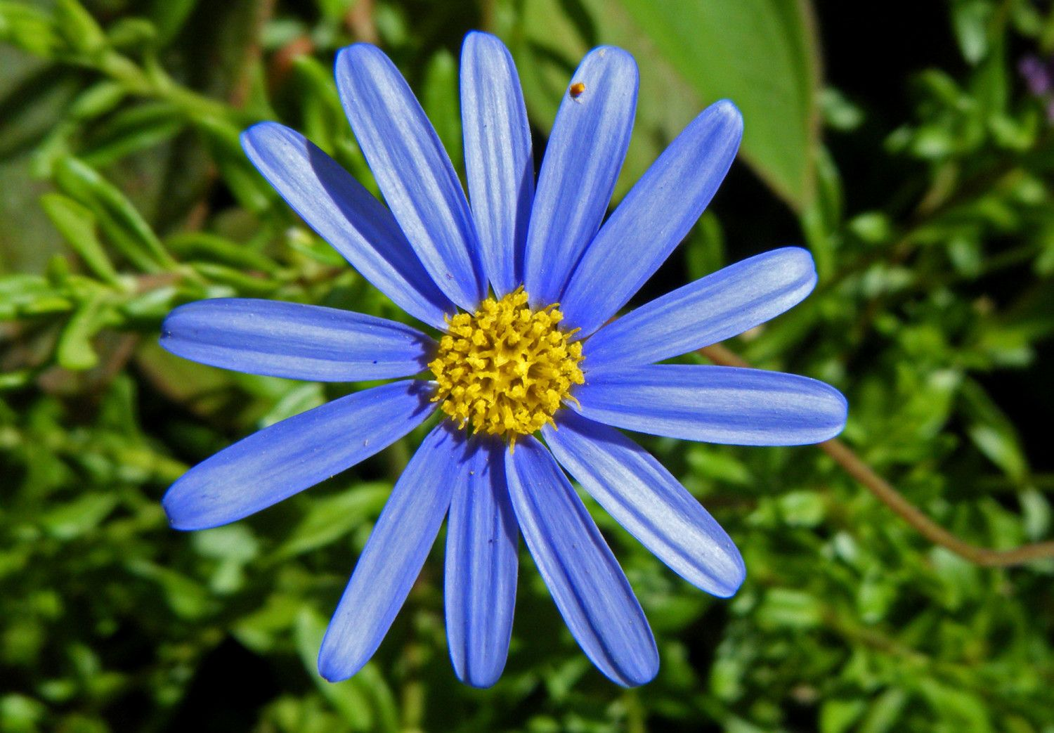Blue Aster Flower Pictures Photos Aster Pinterest Aster Flower
