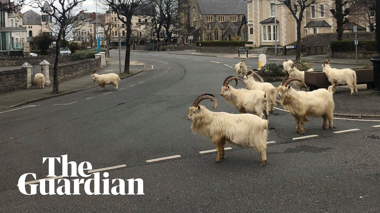 Goats invade town in 2020 Goats, Wild animals pictures
