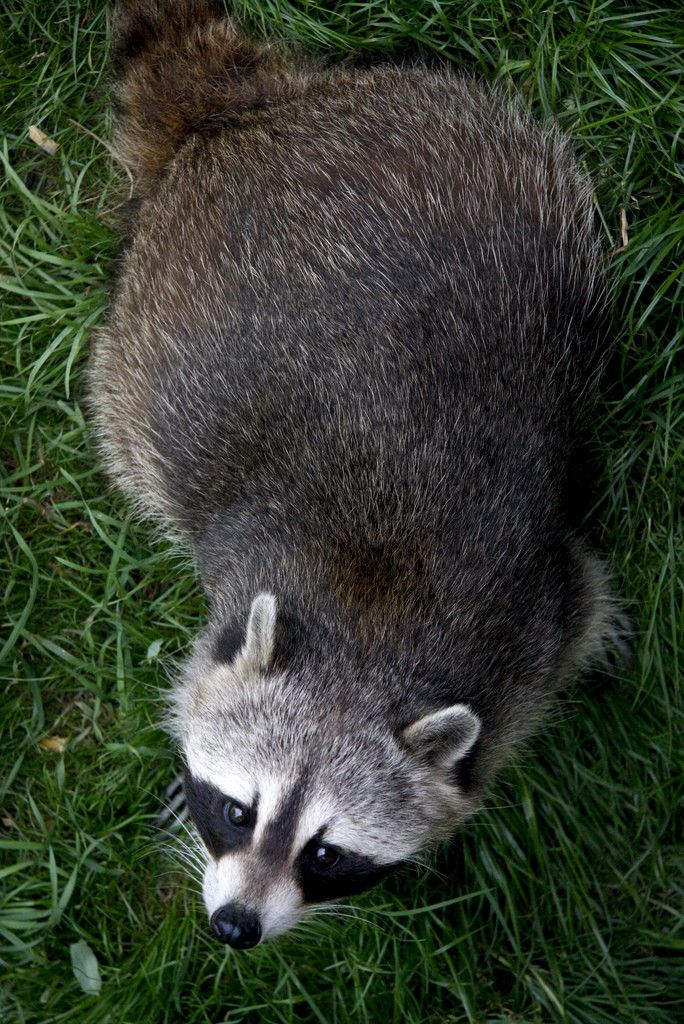Aerial photo of a bandit! (Procyon lotor)