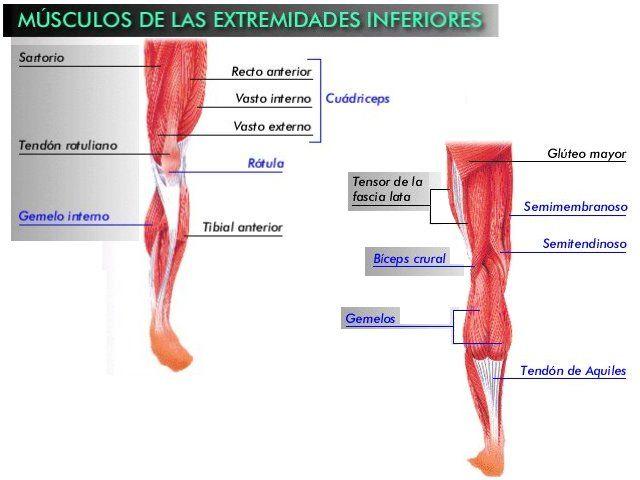 Músculos de las extremidades inferiores. | anatomia humana ...