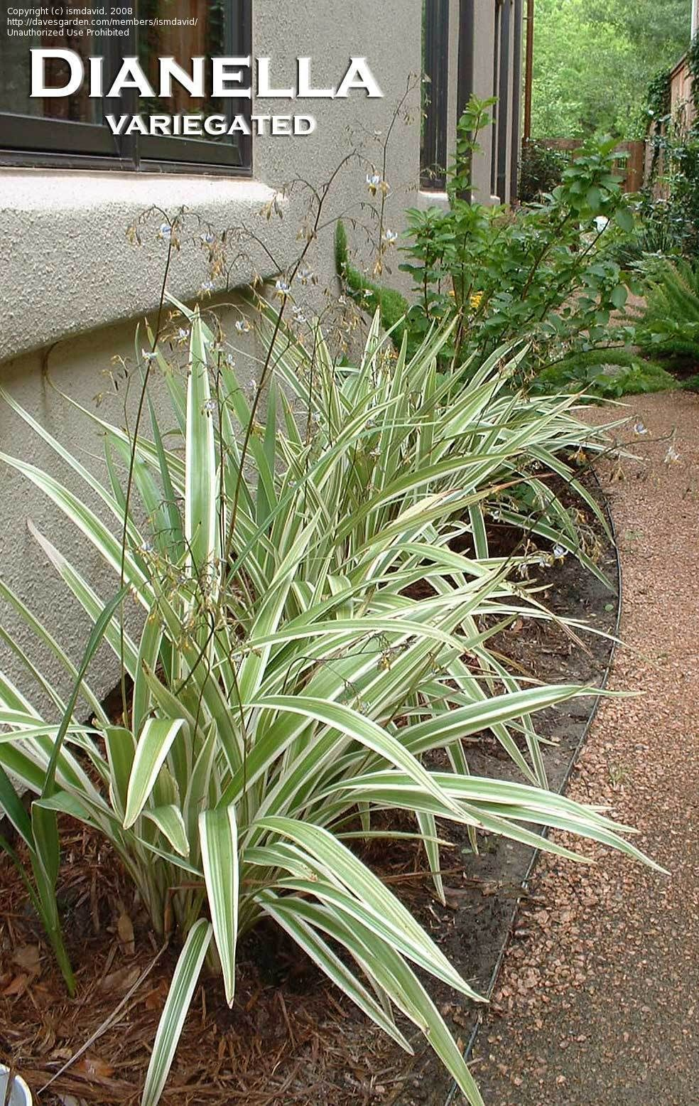 Full Size Picture Of Variegated Flax Lily Variegata Dianella Tasmanica Shade Garden Plants Landscaping Plants Shade Plants