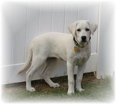 White Labrador Retriever I Have One Her Name Is Willow White Labrador White Lab Puppies White Labrador Puppy