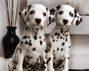 dalmation puppies