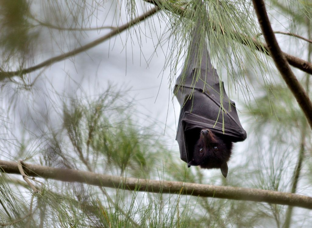 Black Flying Fox.  [By James Niland, Creative Commons license.]