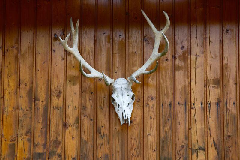 How to bleach a deer skull deer skulls deer skull
