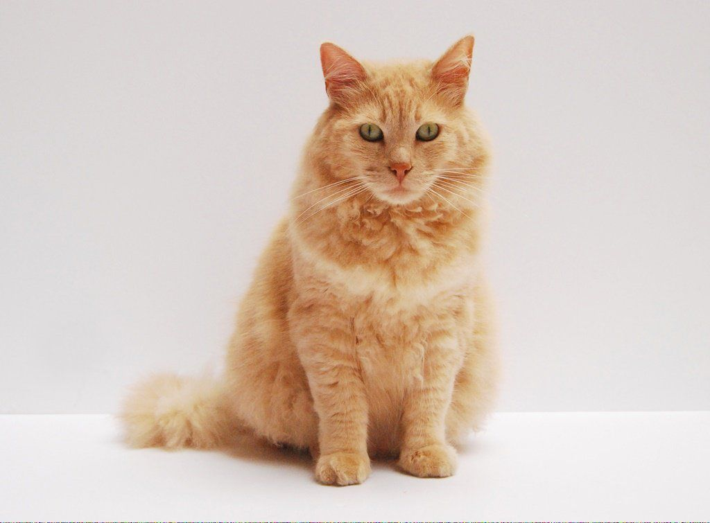 Cats With No Hair Catschocolate Code 760870730 Cat Adoption Why Do Cats Purr Cat Vs Dog