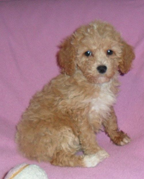 Penny Female Teddy Bear Bich Poo Puppy For Sale In Ohio 850 Pup Pets Puppies