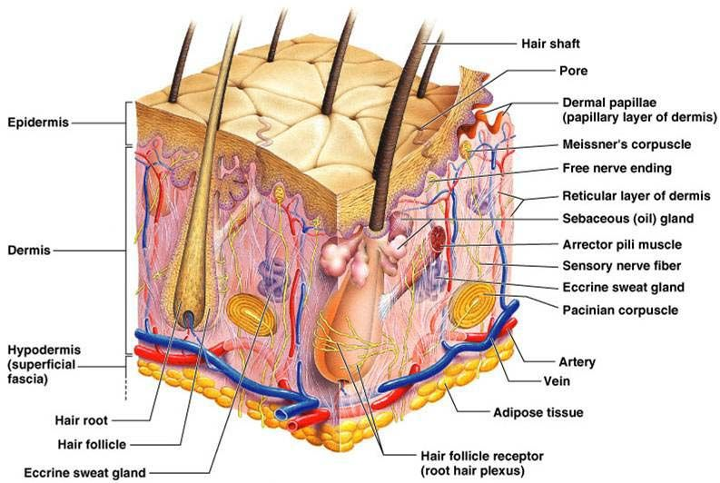 Anatomy Of Skin Structure Overlook The Copies And Do Not Go With The
