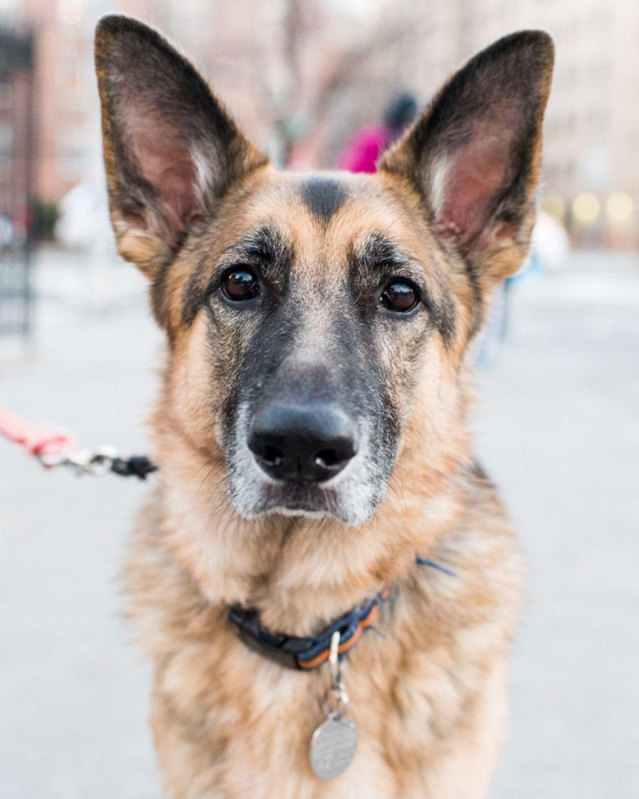"""thedogist """" Lulu, German Shepherd (5 y/o), Houston & 6th"""