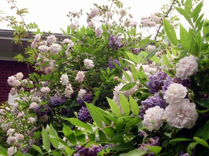 Wisteria and climbing roses