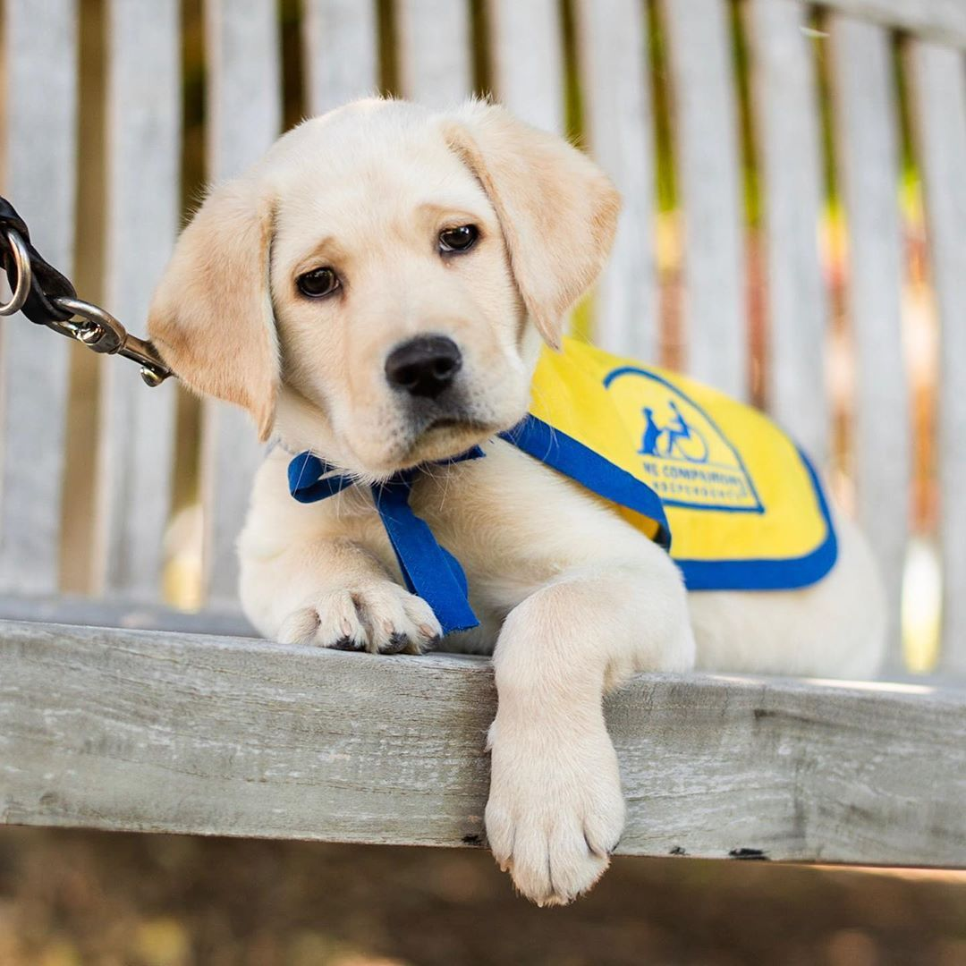 Phil Labrador Retriever Golden Retriever Cross 8 W O Ccicanine Santa Rosa Ca Canine Companions For Independence Is A Non In 2020 Animals Assistance Dog Dogs