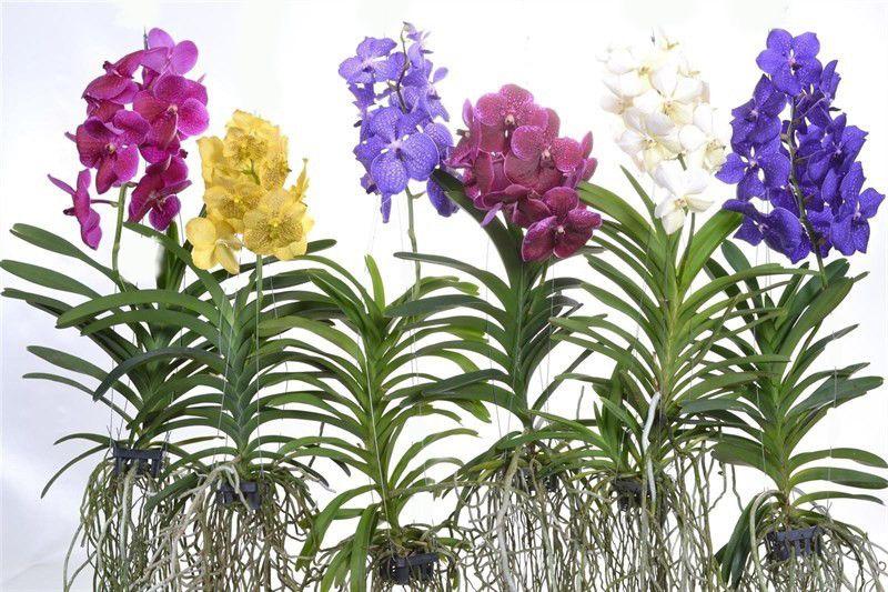 Vanda: l'affascinante orchidea dalle lunghe radici aeree #orchid #vanda #flower #flowers #plants