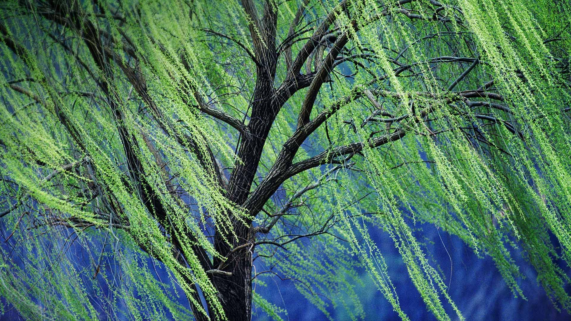 """There are numerous species of tree with the common name """"weeping ..."""