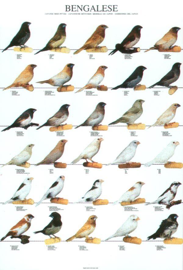 Lady Gouldian Finch Com Bird Posters Kresleni Drawing