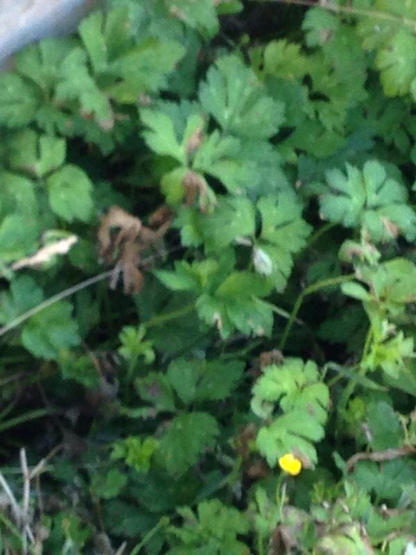 Creeping Buttercup Ranunculus Repens This Appears To Be Creeping