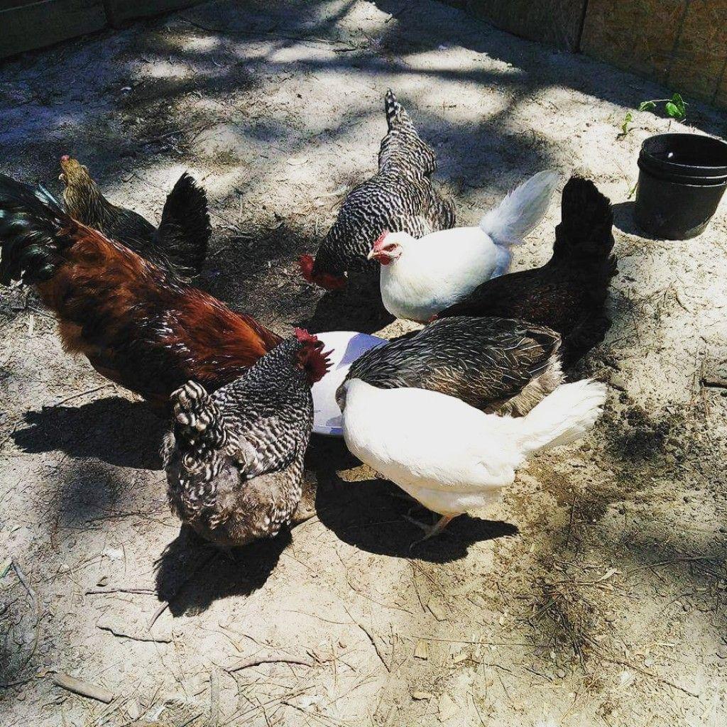 The 5 Best Chicken Breeds for Your Homestead | Birds ...